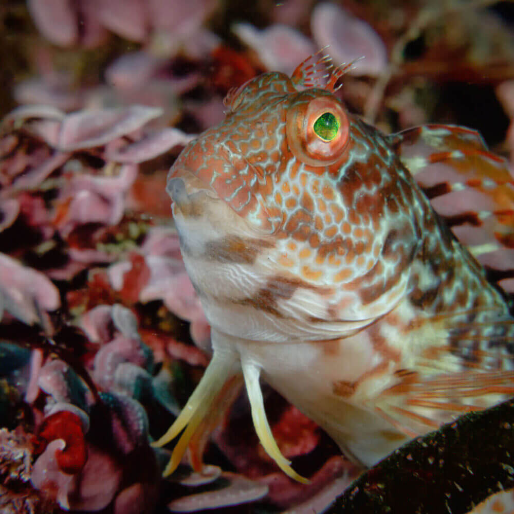 Ringneck blenny photographed underwater in the waters of Sesimbra beach